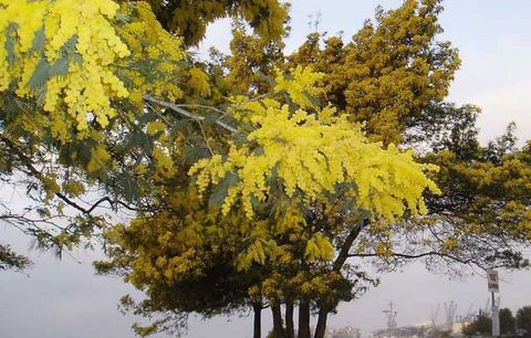 acacia-with-flash-cropped-and-halved.jpg