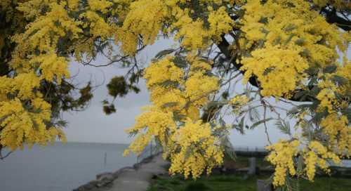 acacias-closer