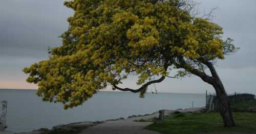 cropped-acacia-1