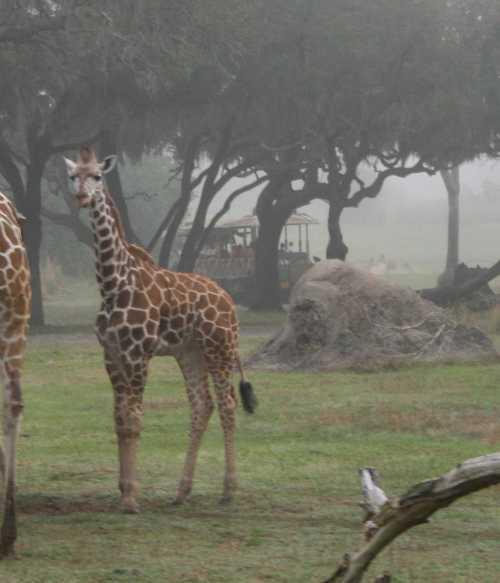 img_0128-giraffe