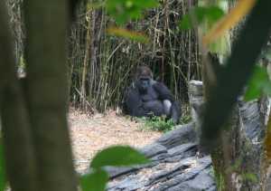 img_0160-gorilla-framed