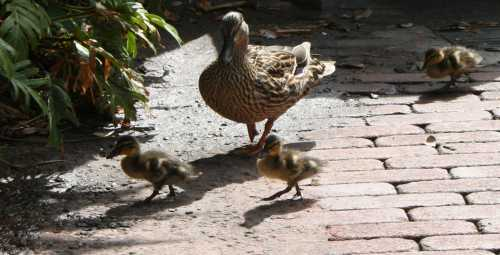 img_0179-ducklings
