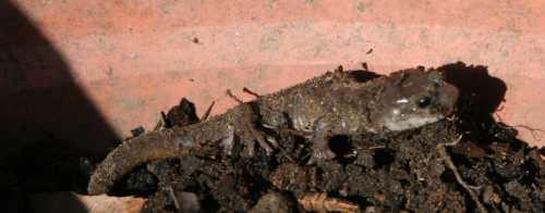 20090412_0246-salamander-sun