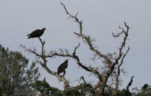 20090601_0354 vultures