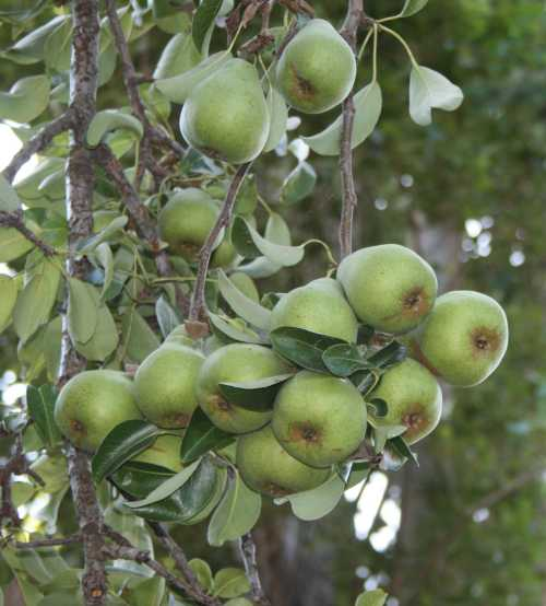 20090823_0412 hanging pear fruit