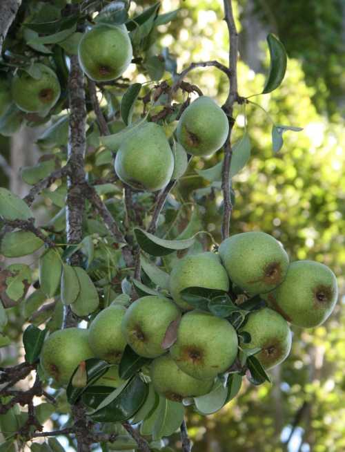 20090907_0426 pears backlit
