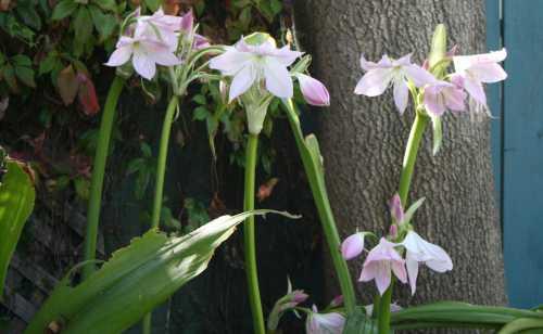 20090907_0432 lilies