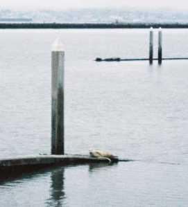 Jul 07 harbor seal cropped