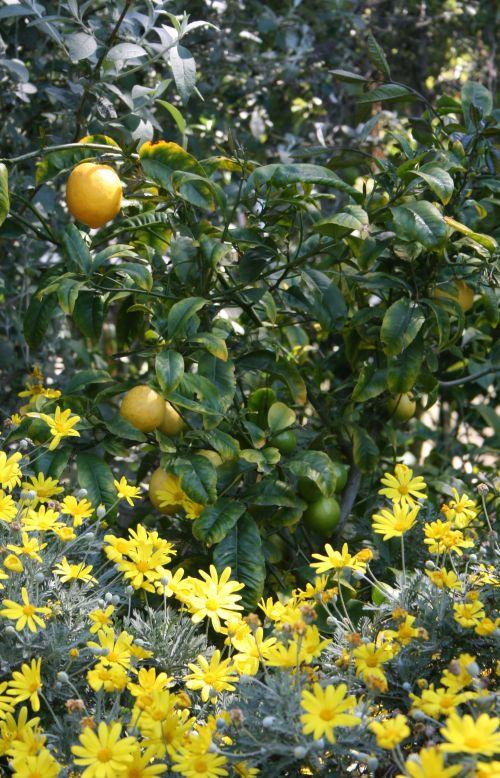 1044 margarite and lemon bush