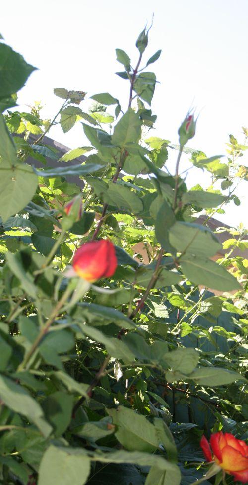 1051 rosebuds